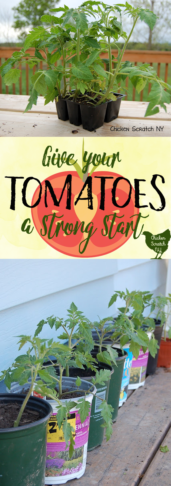 Get the best tomatoes this year by giving your plants a head start. Leggy and sad plants have nothing to fear with this handy trick