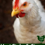 close up of larg ewhite chicken with text overlay heat stroke in chickens