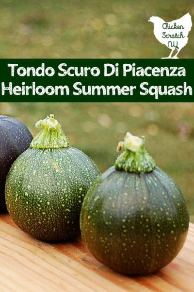 Tondo Scuro Di Piacenza Summer Squash Summer Squash