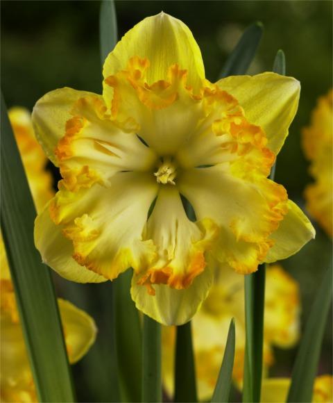 Split Cup Daffodil