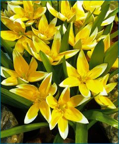 Yellow Species tulip