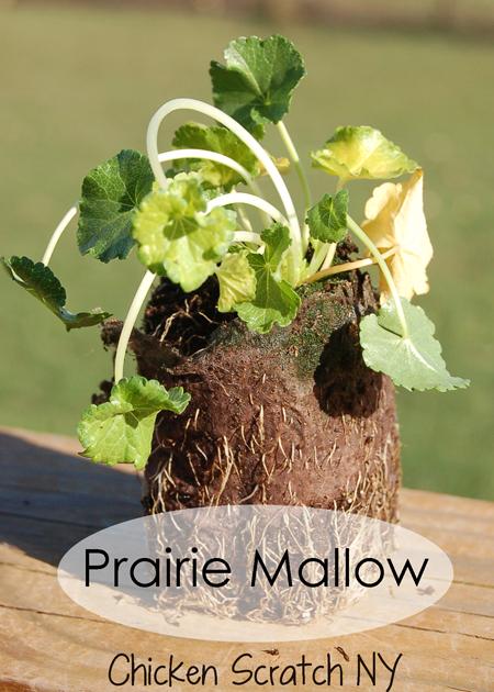 Prarie Mallow