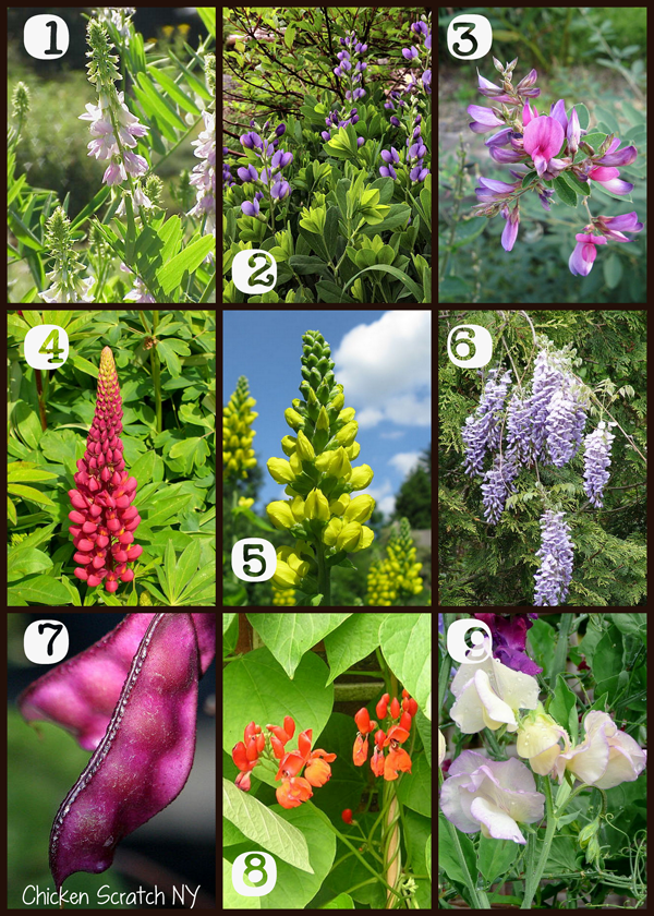 9 Beautiful Garden Legumes