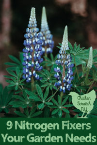 blue lupine with text overlay 9 nitrogen fixers your garden needs