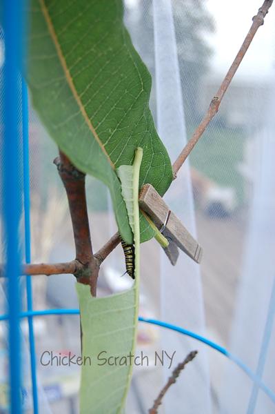 Horatio the Caterpillar - DIY Tomato Cage Caterpillar House