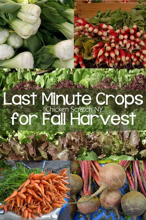 Last Minute Crops for a Fall Harvest