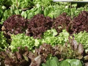 Lettuce - Last Minute Garden Crops