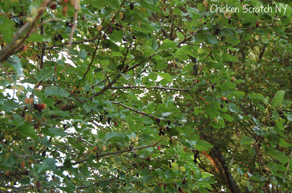 Trees-Loaded-with-Berries