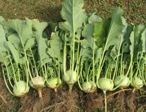 Kohlrabi - Last Minute Garden Crops