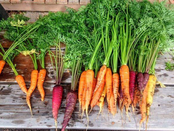 mixed colors of carrots with greens on a wooden background