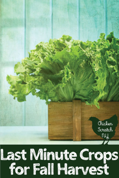 box of lettuce against a blue background with text overlay last minute crops for fall harvest