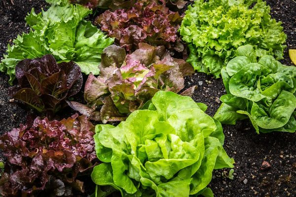 babby lettuces in a field