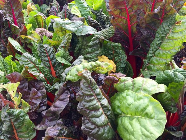 mixed colors of swiss chard