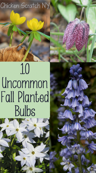 10 Uncommon Fall Planted Bulbs from Spring Blossoms
