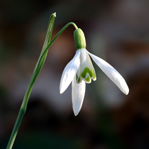 Snowdrop - Uncommon Fall Planted Bulbs for Spring Flowers