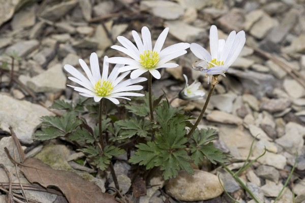 Amemone - Uncommon Spring Bulbs for Fall Plantin
