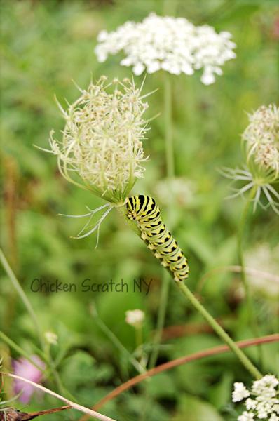 Black Swallowtail Caterpillars in the Garden