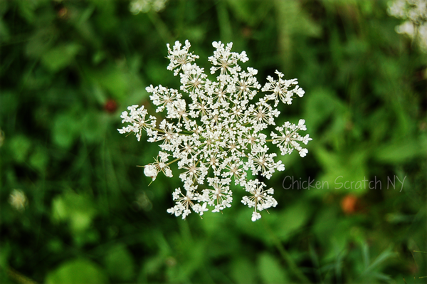 Queen Anne's Lace - Favored food for Black Swallowtail Caterpillars