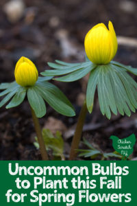 two yellow eranthis flowers against a dark woodland background with text overlay Uncommon Blulbs to plant this Fall for Spring Flowers