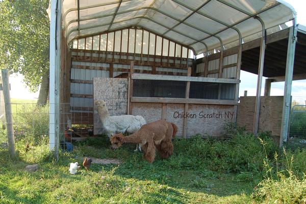 Free Ranging with Alpacas