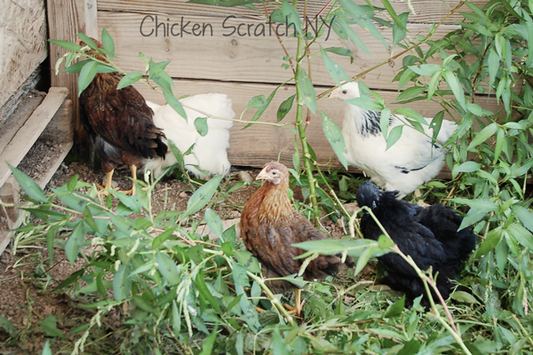 6 week pullets and cockrels in the weeds