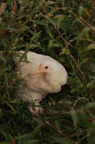 6 Week Old Cochin