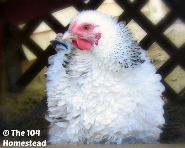 Favorite Chicken Breed - 104 Homestead - Frizzle