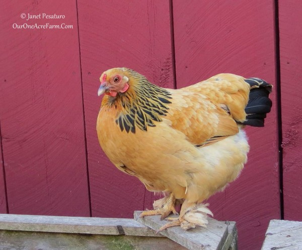 Favorite Chicken Breed - One Acre Farm - Bantam Buff Brahma