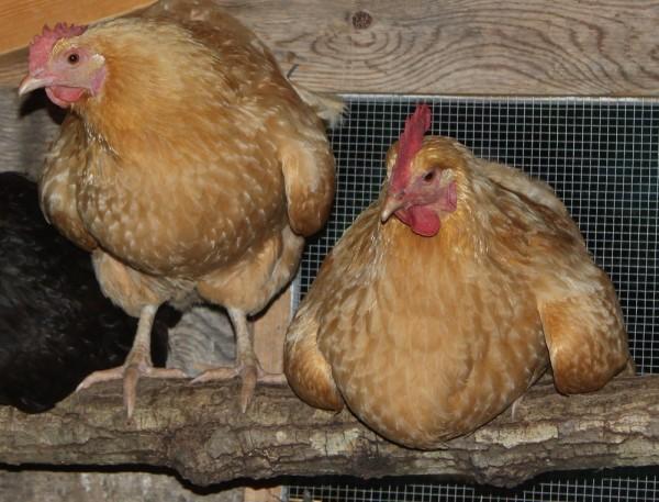 Favorite Chicken Breed - Flip Flop Barnyard - Buff Orpingtion