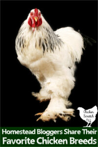 large light Brahma rooster against a black background with text overlay Homestead Bloggers Share Their Favorite Chicken Breeds