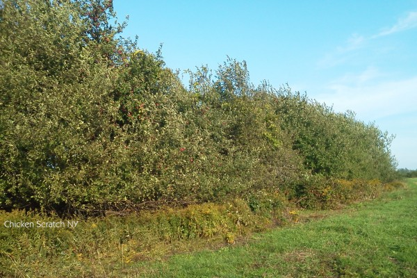 Overgrown Apple Trees - Perfect for Applesauce
