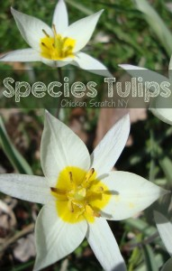 Get the basics on Species Tulips
