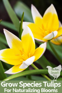 two yellow and white species tulip flowers