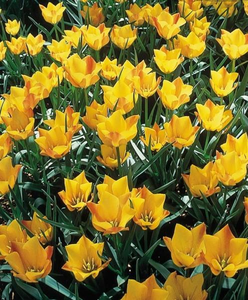 Tulipa batalinii Bright Gem | Species Tulips