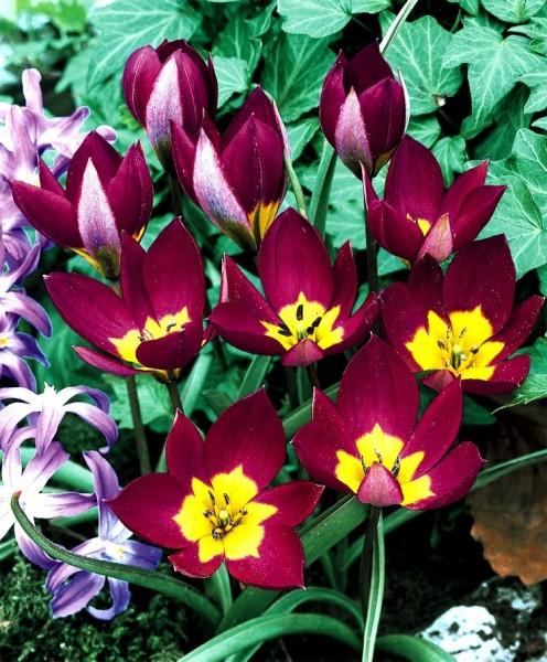 Tulipa humilis Persian Pearl   Species Tulips