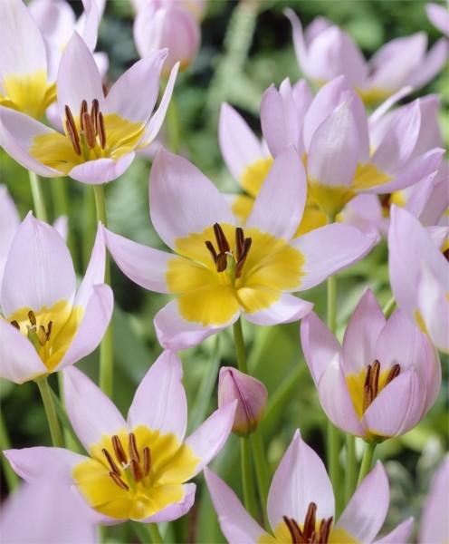 Species Tulips - Tulipa saxatilis