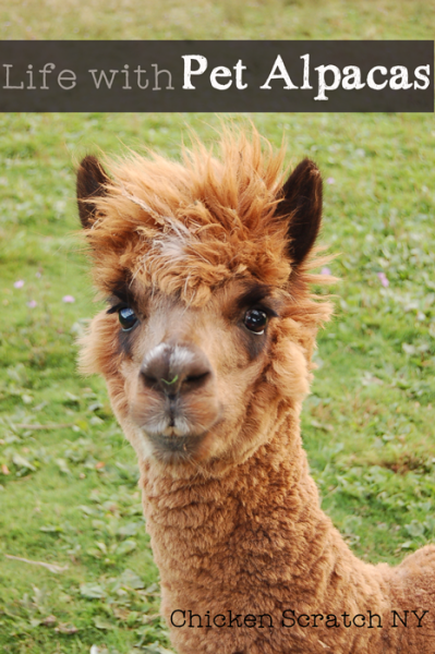 Find out what our two pet alpacas do on our small farm