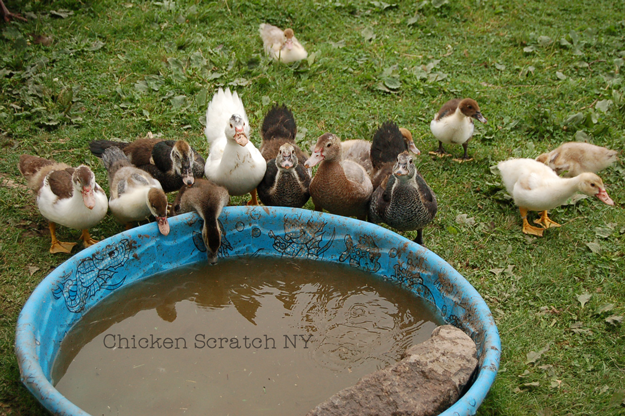 Muscovy ducks sustainability in your back yard - How do i keep ducks out of my swimming pool ...
