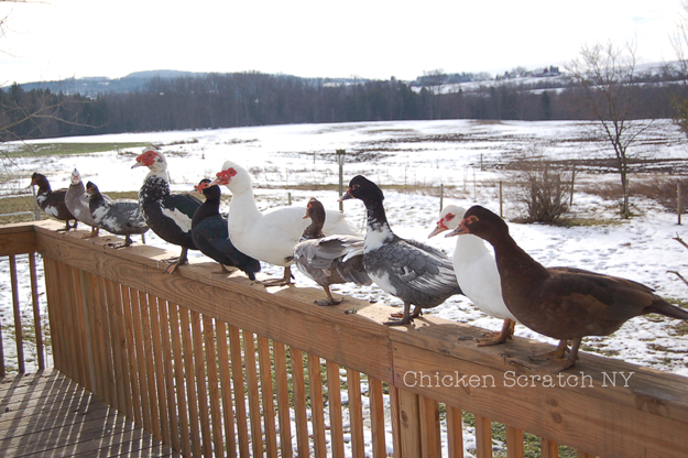 Muscovy Ducks - Sustainability in your Back Yard