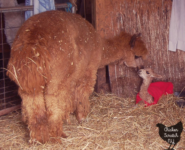 brown alpaca with newborn alpaca cria in red coat
