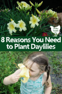 little girl smelling large yellow daylily text overlay 8 reasons to plant daylilies golden retriever behind large stand of daylilies
