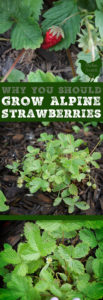 Add some charm to your garden with Alpine Strawberries. They're a true perennial you can grow from seed and get berries your first year!