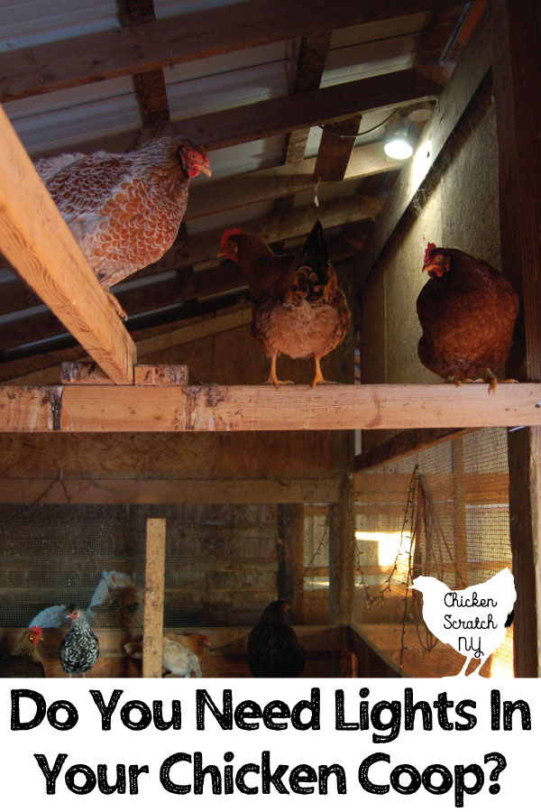 I will always use lights in the chicken coop and it has nothing to do with eggs! Northern winters are cold, dark, and miserable. Find out why and how I use lights in the coop for healthier birds all winter long