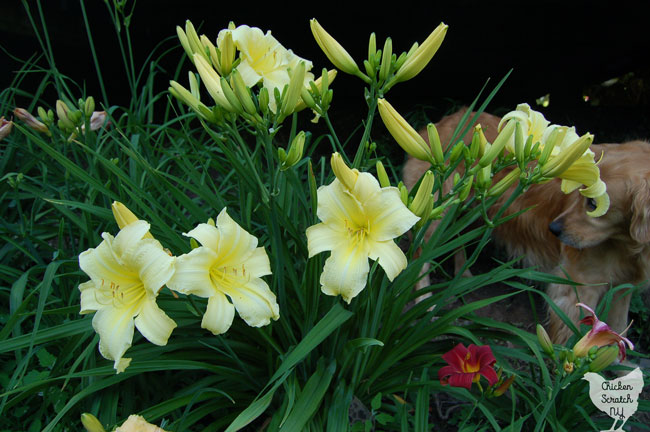 Growing daylilies is a great choice for a beginner gardener. If you're looking for a simple and cheap way to fill a large space with gorgeous plants you really need to plant a daylily garden
