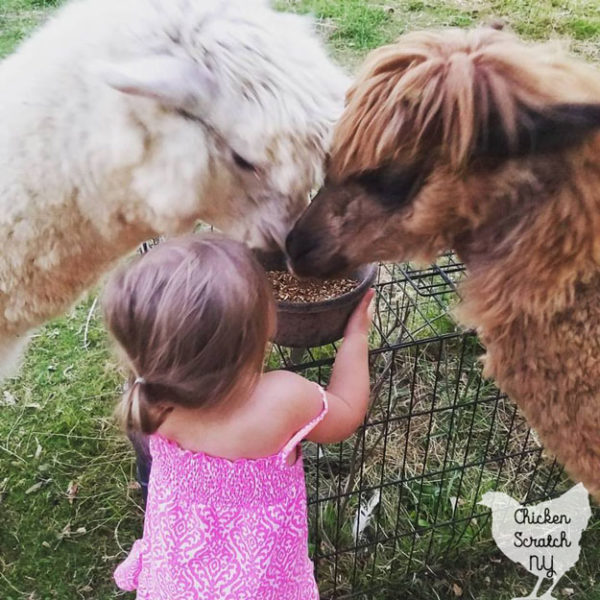 little girl feeding white and brown alpacas from black bowl