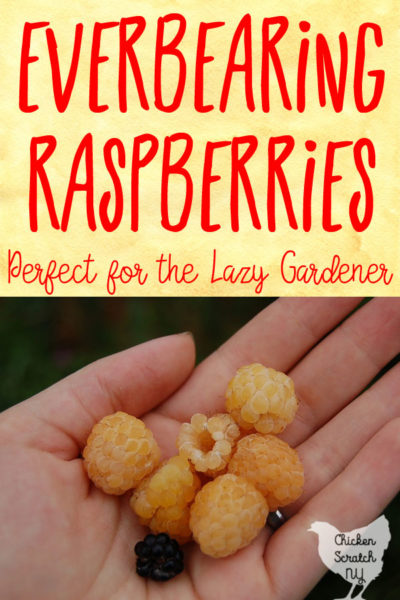 gold raspberries in a cupped hand with Everbearing Raspberries text overlay