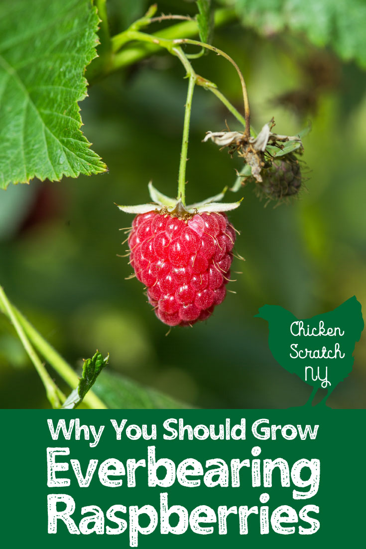 res raspberry with grow everbearing raspberries text overlay