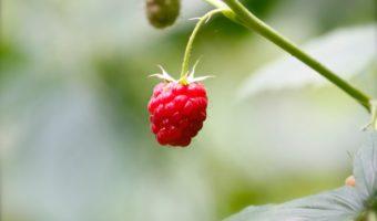 single red raspberry
