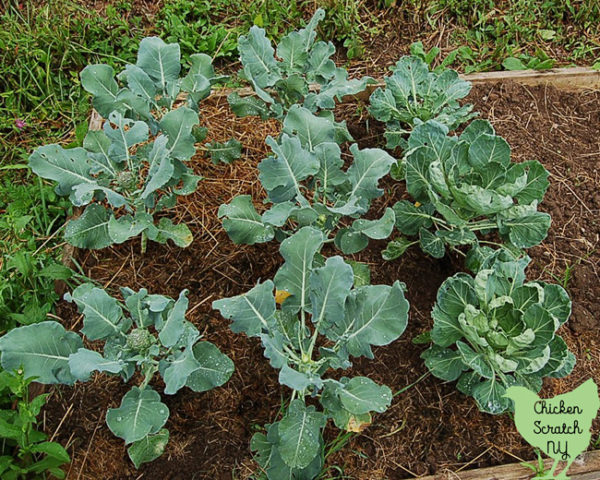 broccoli plants in raised bed mulched with straw