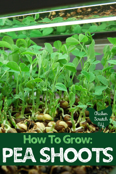 pea shoots under grow light in black tray with text overlay How to grow pea shoots